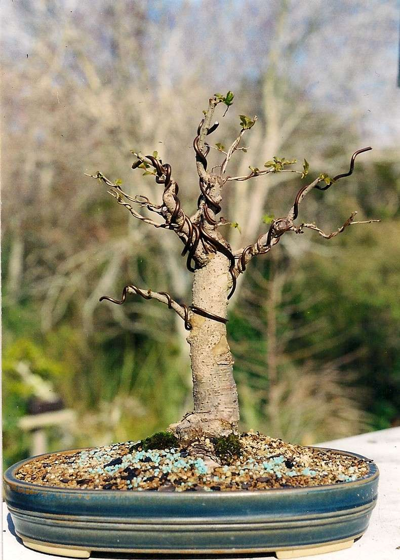 Which Broom - A Chinese Elm one 2001_c10