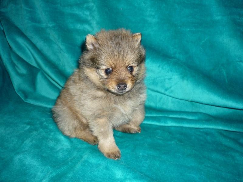 Se venden Pomeranias 20090212