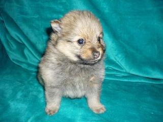 Se venden Pomeranias 20090213