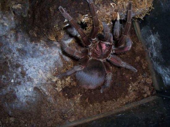phormictopus atrichomatus 000_0710