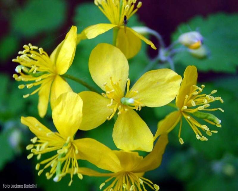 Sementes de Celidônia (Chelidonium Majus L.) Celido10