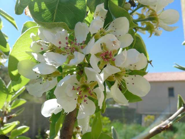 fleur de nashi  Fleur_10