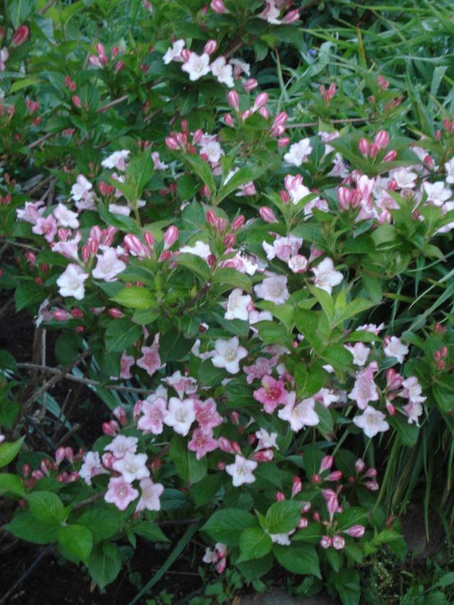 """Weigela à floraison rose pâle à identifier-->trouvé--¨> """"""""Polka"""""""" Dsc01410"""