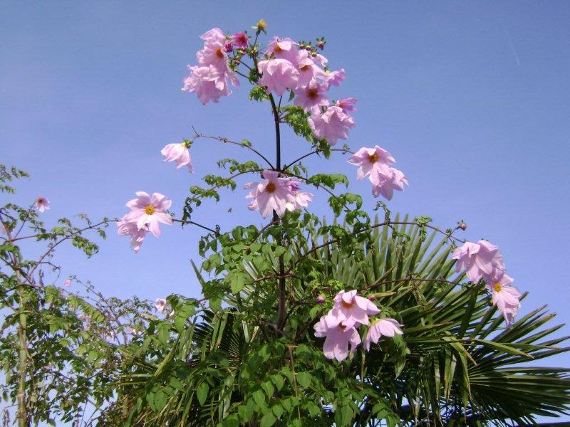 Dahlia imperialis - Page 4 006_co11