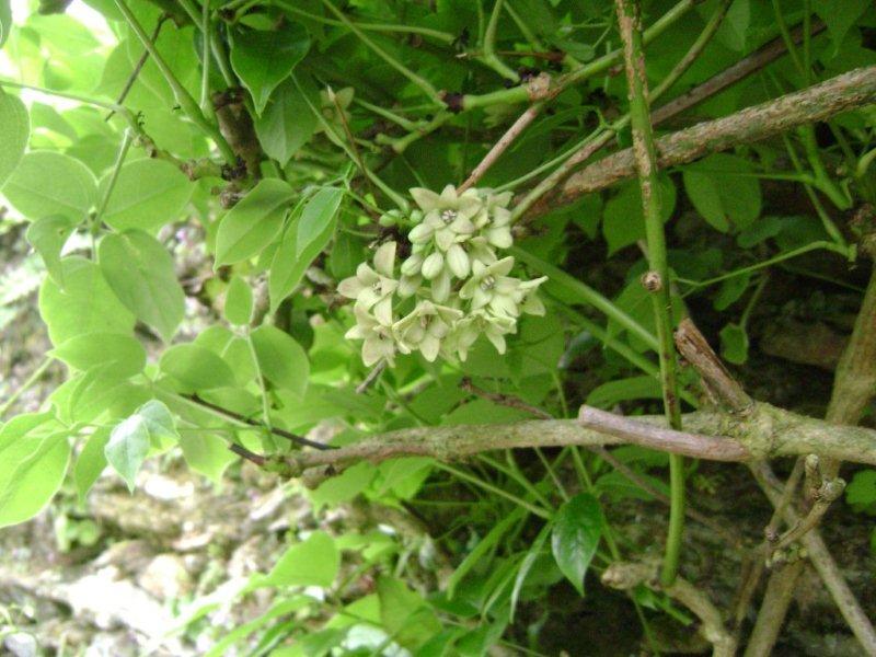 Stauntonia hexaphylla Staunt10