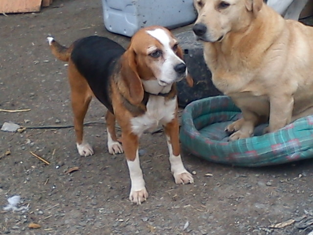 ALYZEE, beagle femelle, 3 ans 1/2 (86) Dsc07917