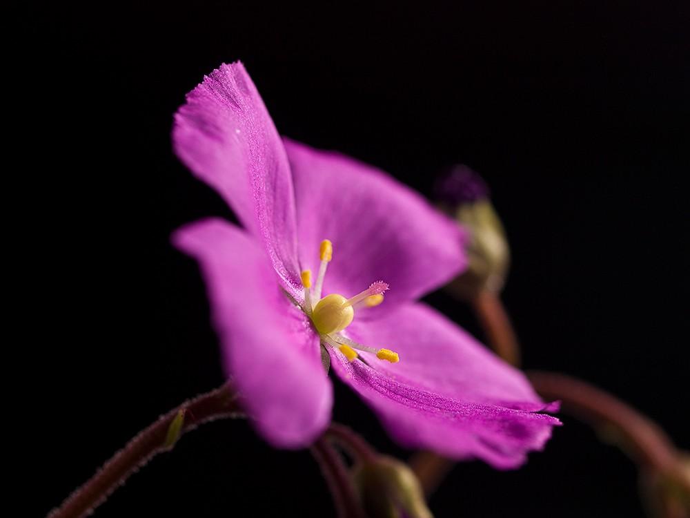 D. hamiltonii fleurissent D_hami10