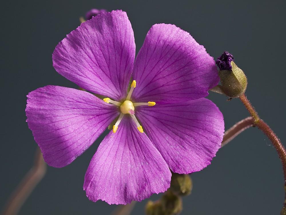 D. hamiltonii fleurissent D_hami11