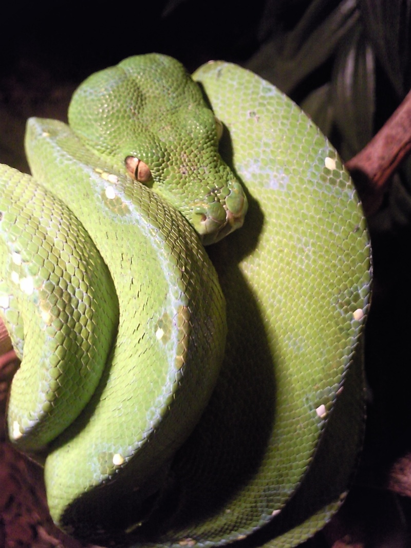 Vends Morelia viridis, Morelia IJ, panther, Leiopython Photo023