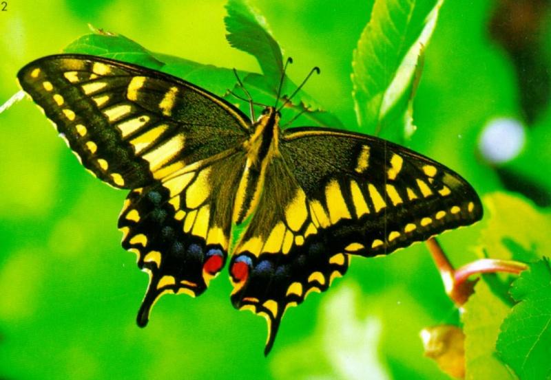 Butterfly Princess 80mm Korean10