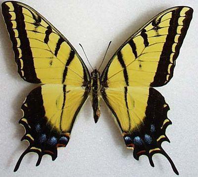 Butterfly Princess 80mm Twotai10