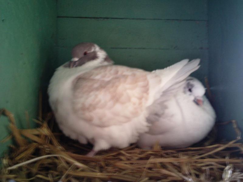 mon couple de pigeons Photo025