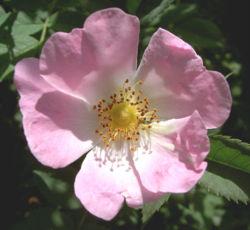 """Le genre """"Rosa"""" 250px-10"""