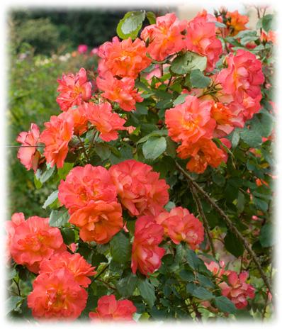 Vos rosiers preferés Ariell10
