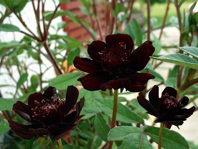 Fleurs noires - Page 2 Cosmos10