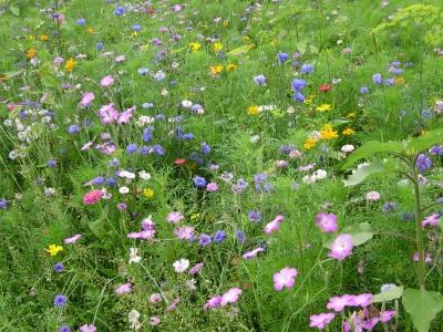 Fleurs champetres Cultur10