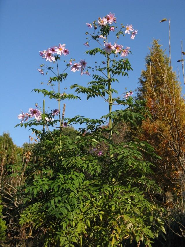 Dahlia imperialis ou Dahlia en arbre Dahlia11