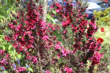 Leptospermum Leptos10