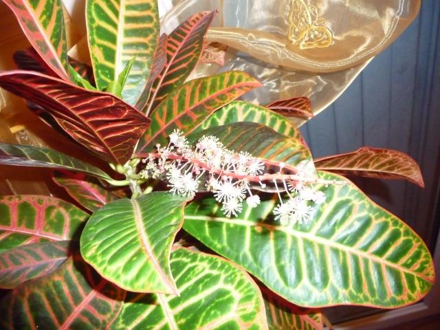 Croton P1070327