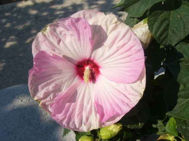 hibiscus a fleur géante:Hibiscus moscheutos cv disco P1080310