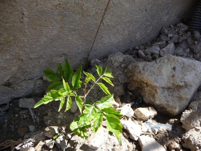 Bignone Podranea ricasoliana P1090014