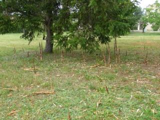 Le Bambou envahissant!! P1090119