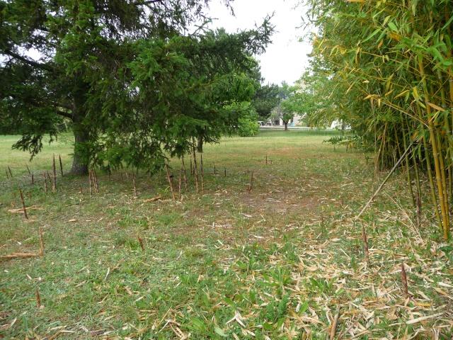 Le Bambou envahissant!! P1090120