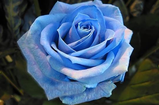 La rose bleue...! Rose-b10