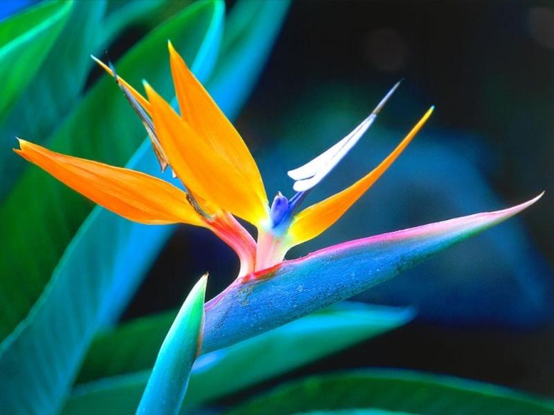 Le semis de l' Oiseau de paradis. Streli10
