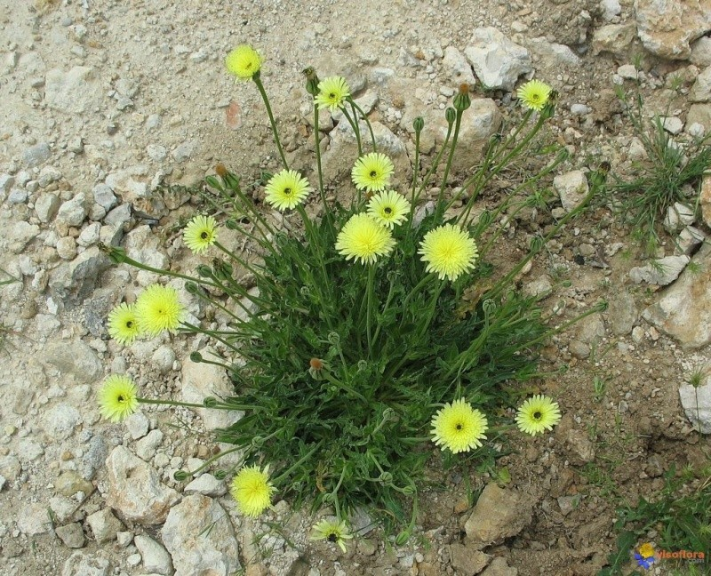 Urospermum dalechampii Urospe10