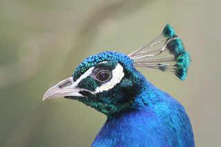 Fiche : le paon bleu Paon-b10