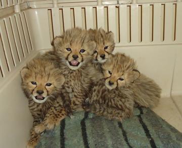 Cheetah Conservation Fund Blog Cheeta10