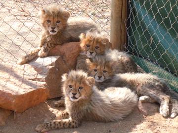 Cheetah Conservation Fund Blog Cheeta11