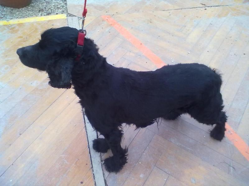Cocker, 2 anos, macho, preto, lindo! Lisboa 03910