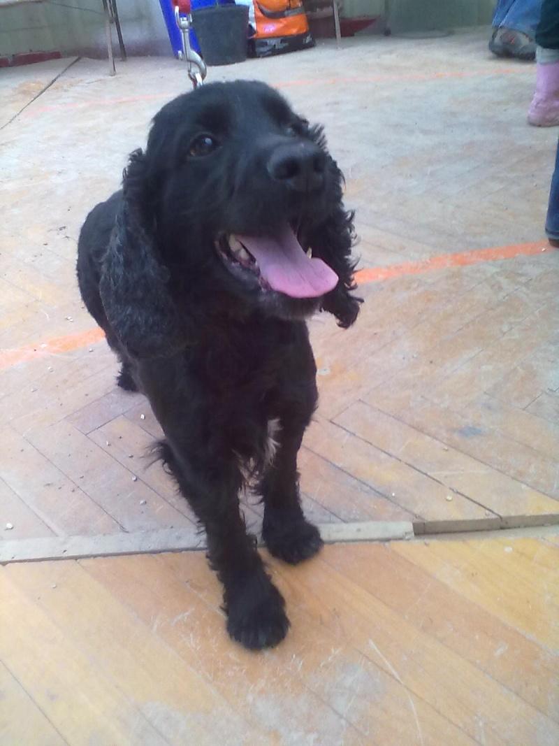 Cocker, 2 anos, macho, preto, lindo! Lisboa 04214