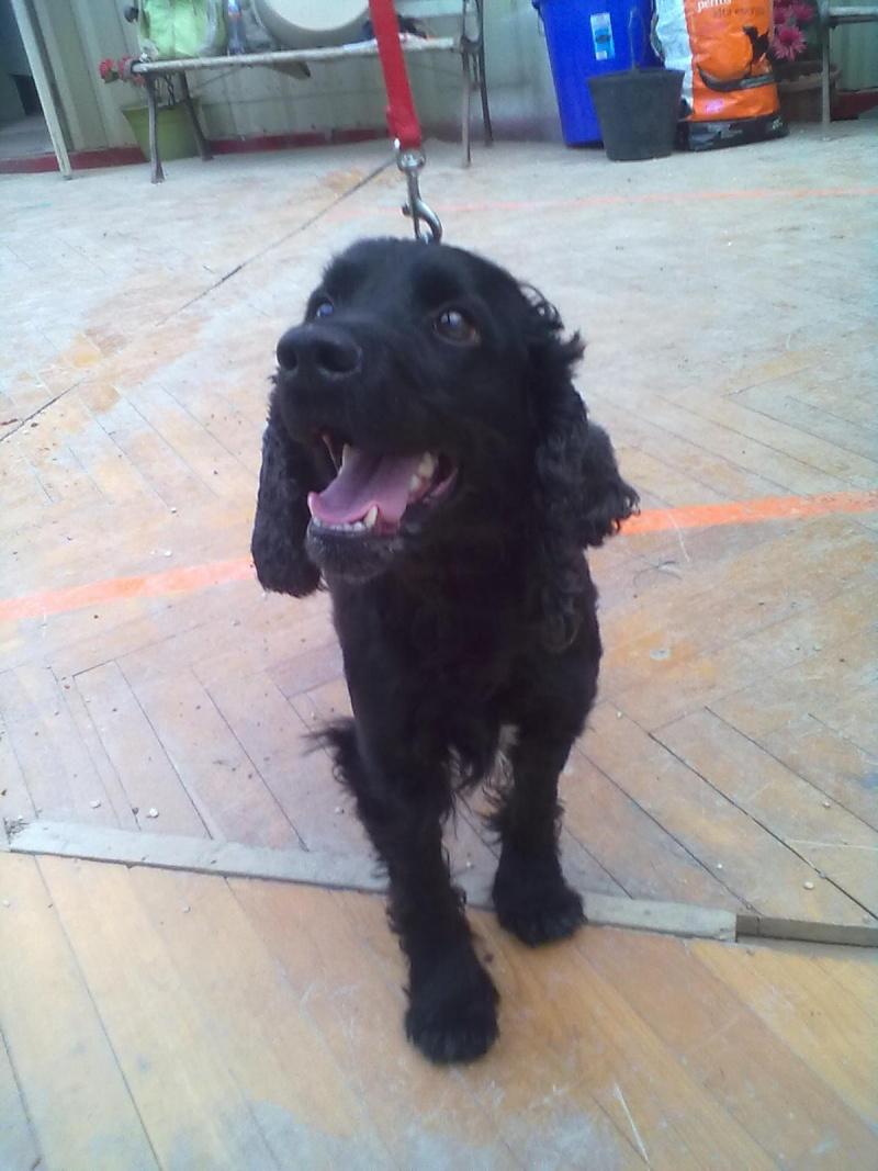 Cocker, 2 anos, macho, preto, lindo! Lisboa 04312