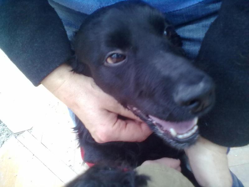 Cocker, 2 anos, macho, preto, lindo! Lisboa 04710