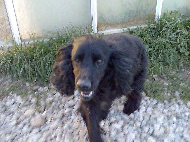 Cocker, 2 anos, macho, preto, lindo! Lisboa 16688610