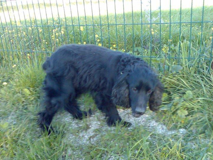 Cocker, 2 anos, macho, preto, lindo! Lisboa 16776110