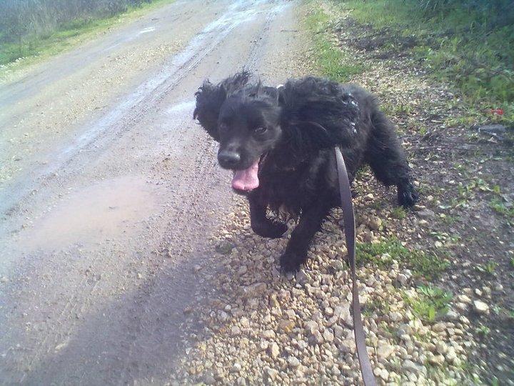 Cocker, 2 anos, macho, preto, lindo! Lisboa 16804810