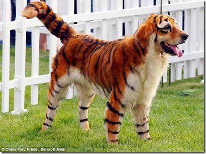 Anjing fefeling harimau Aning_10