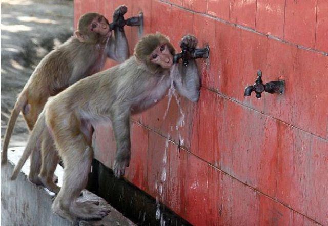 Apabila monyet sudah haus! Monyet10