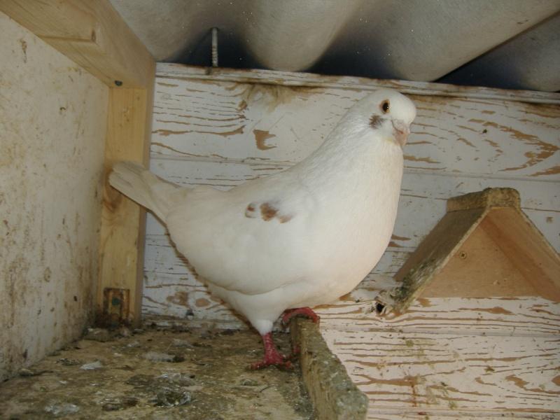 mes quatres pigeons Photo_78