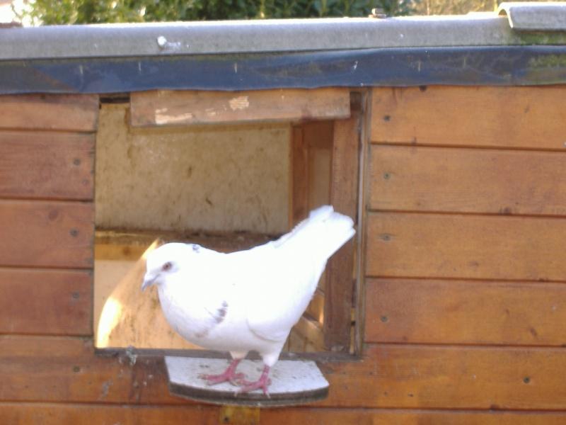 mes quatres pigeons Photo_79