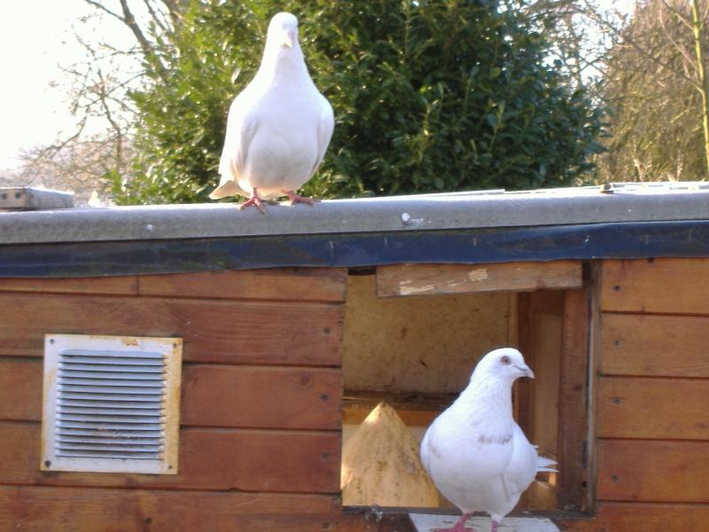 mes quatres pigeons Photo_80