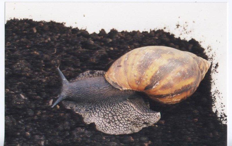 Lissachatina fulica (Férussac, 1821)  16_jui10