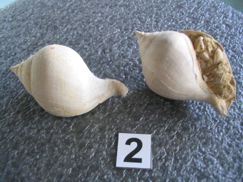 Melongenidae - † Melongenidae Sycostoma bulbiforme (LAMARK, 1803) - Lutécien (Damery 51 F.) 28_aou12