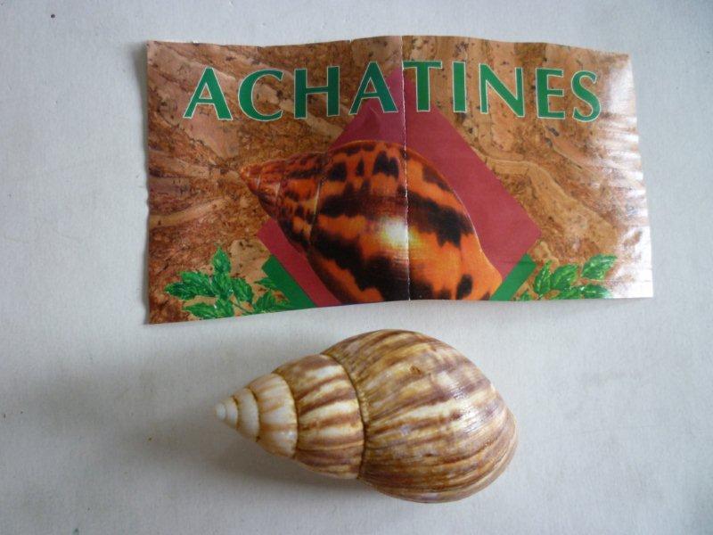 Lissachatina fulica (Férussac, 1821)  Achati10