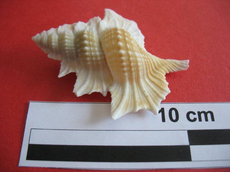 Cymatiidae Gyrineum perca - (Perry, 1811) (original combination) Biplex10