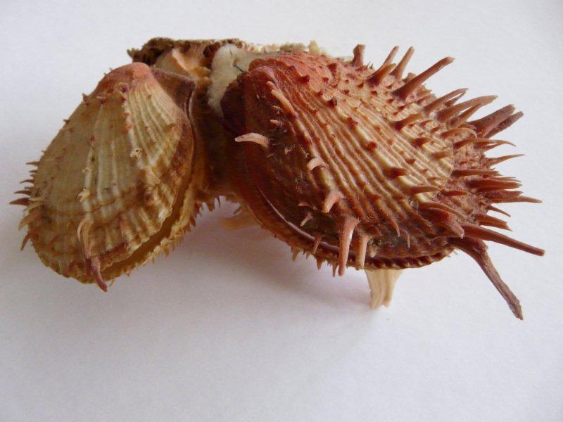 Spondylus gaederopus - Linnaeus, 1758 + Spondylus americanus - Hermann, 1781 + Spondylus tenuis - Schreibers, 1793 Spondy12